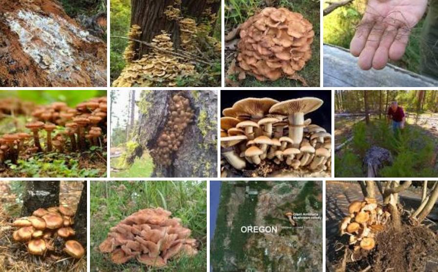 Oak Wilt Fungus Mats