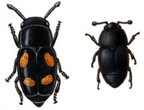 Oak Wilt Nitidulid Beetles